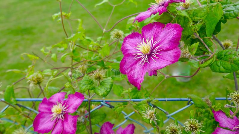 Clematis Ranunculaceae Delicate, pink flowering climber, climbs up a chain link fence. Beautiful Clematis Ranunculaceae Delicate, pink flowering climber, climbs stock photography