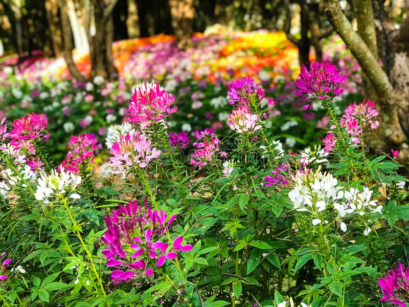 Beautiful Cleome spinosa or Spider flower are blooming. In the garden stock photography