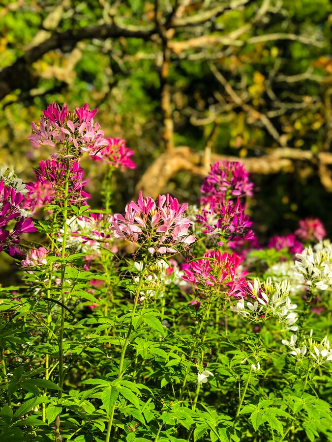 Beautiful Cleome spinosa or Spider flower are blooming. In the garden stock image