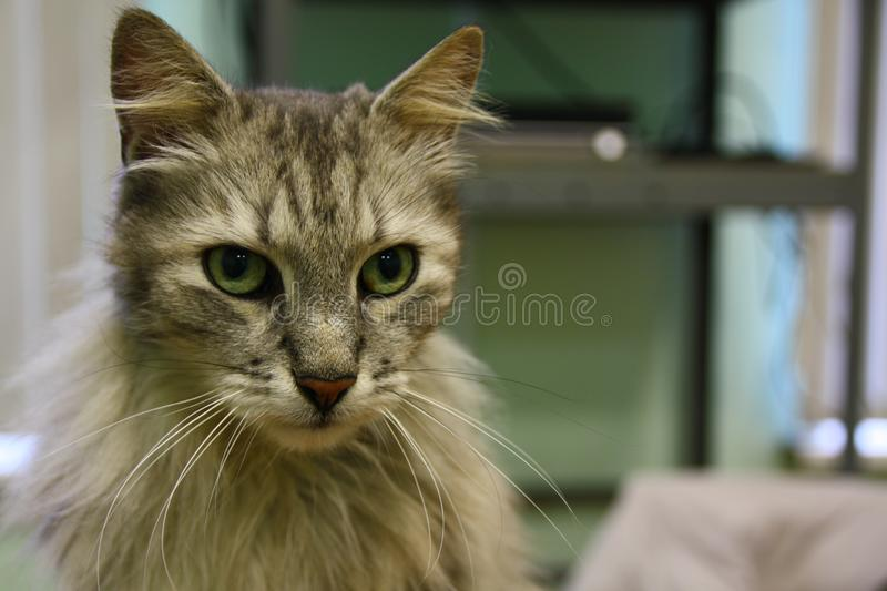 Beautiful clever silver tabby cat, whiskers, green background. A portrait of a fluffy Siberian silver tabby cat, green eyes, whiskers, ears, nose royalty free stock photo