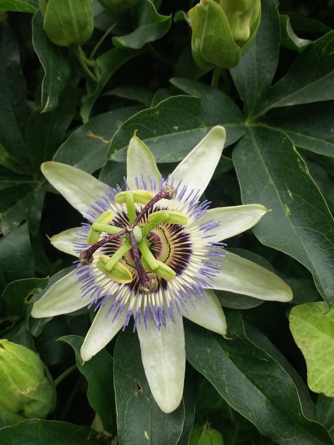Beautiful Clock flower royalty free stock photo