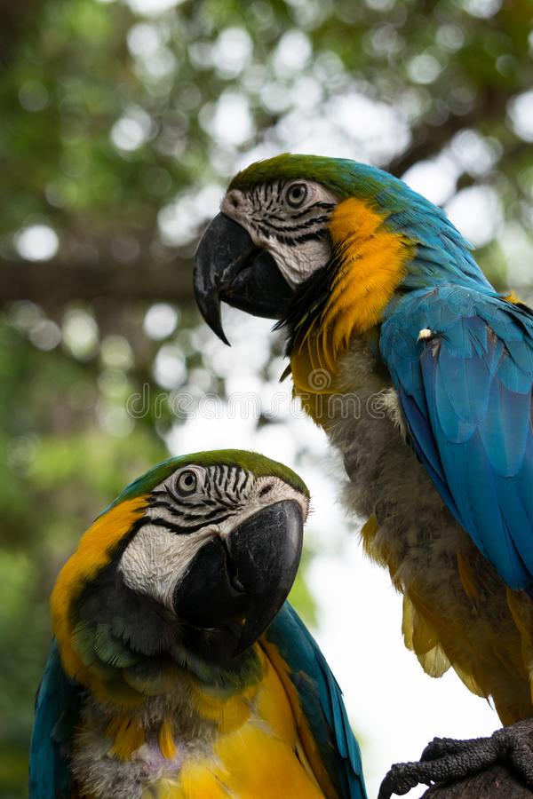 Beautiful close up colorful Macaw parrots on a tree in green jungle. Beautiful close up blue and yellow Macaw parrots on a tree in green jungle stock images