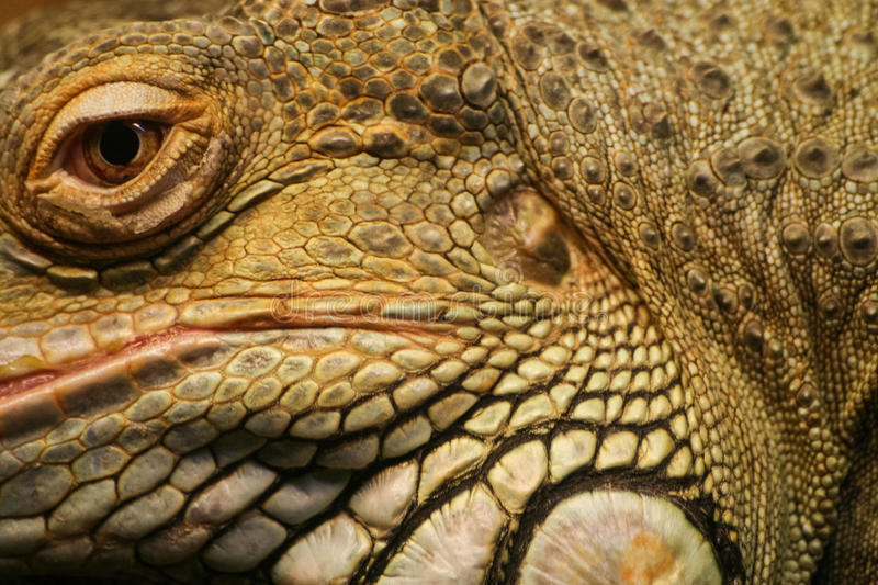 A beautiful close-up of a brown iguana royalty free stock images