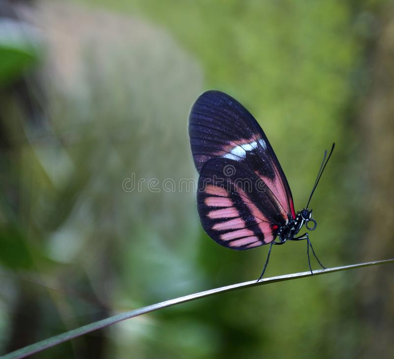 Beautiful close-up of a butterfly with blue and pink wings. Beautiful close-up of a butterfly with blue and pink wings, profile view and posed on a thin leaf royalty free stock image
