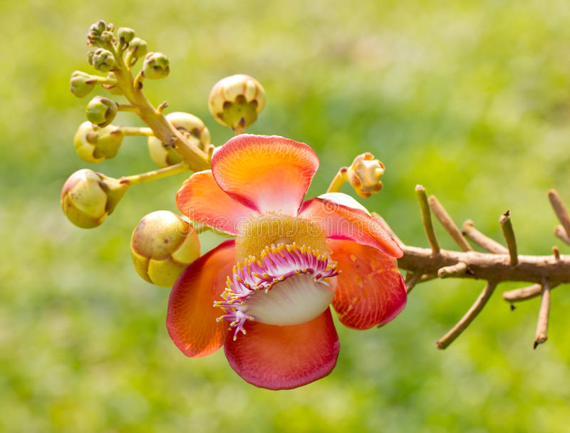 Beautiful Close-Up Of Cannonball Tree Flowers. Beautiful close-up of Cannonball tree flowers (Couroupita guianensis royalty free stock images