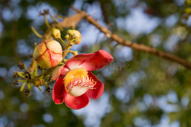 Beautiful close-up of Cannonball tree flowers. (Couroupita guianensis) in the morning stock photos