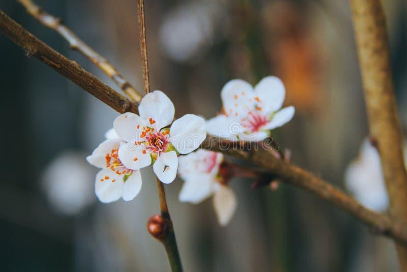 Beautiful Close Up Cherry Blossoms stock image