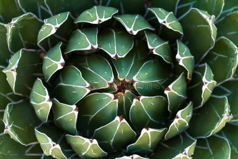 Beautiful close-up of a flowering Green Victoria Agave Cactus. royalty free stock photo
