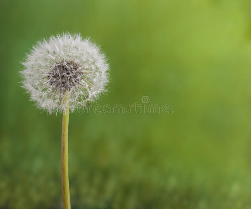 Beautiful close up, full focus dandelion flowers stock images