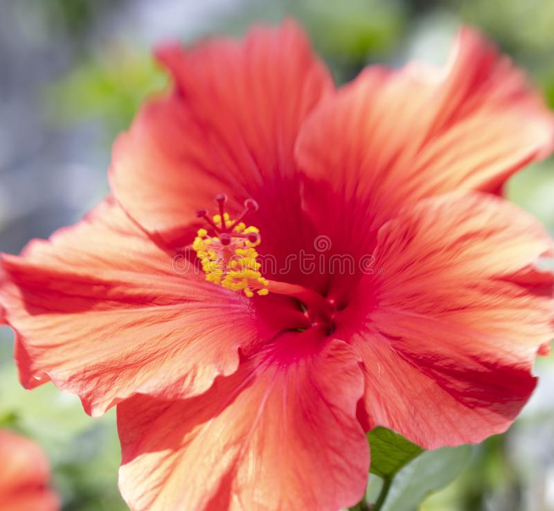 Beautiful close up of Hibiscus royalty free stock images