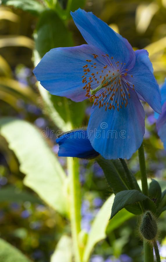 Beautiful close up of Himalayan Blue Poppy stock photo
