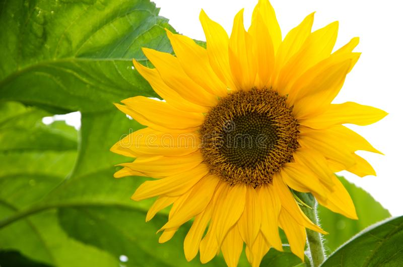 Beautiful Close-up of a large Yellow Sunflower stock photography