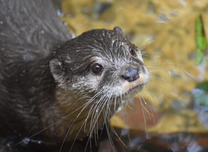 Beautiful Close-up Look at the Face of a River Otter stock photo