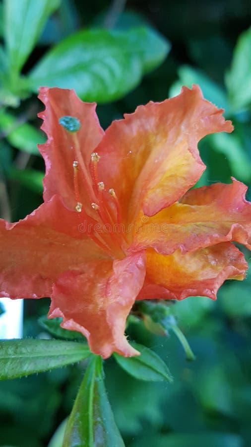 Beautiful orange flower royalty free stock image