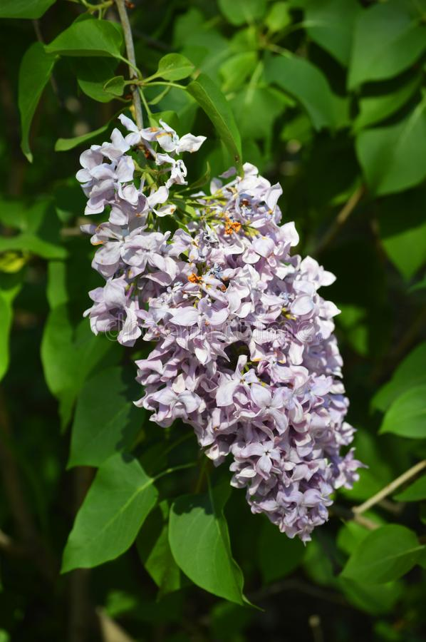 Beautiful close up photo of  lilac flowers. Beautiful close up photo with branch of lilac flowers. Summer outdoor photo with pure purple flowers royalty free stock image