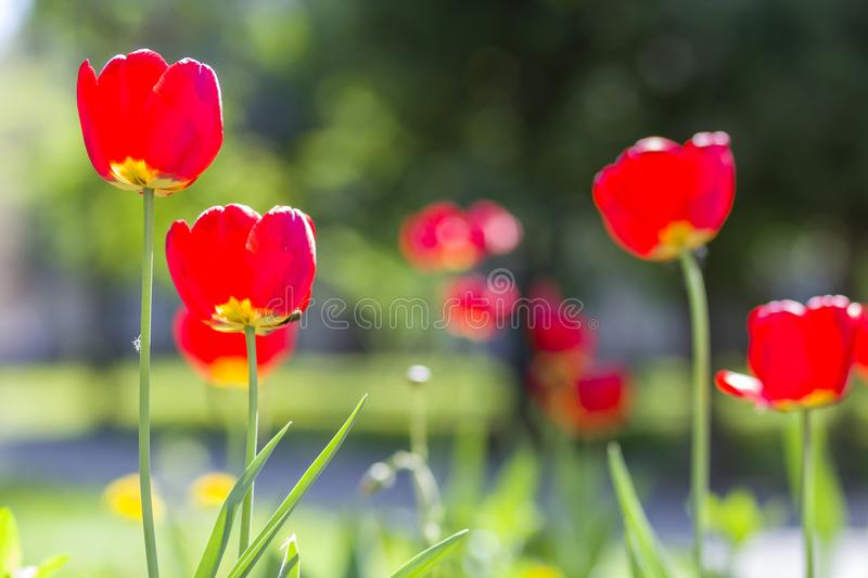 Beautiful close-up picture of wonderful bright red spring flowers tulips on high stems lavishly blooming on blurred green bokeh ba. Ckground in garden or field stock photos