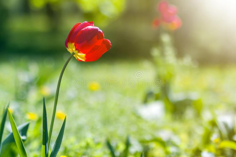 Beautiful close-up picture of wonderful bright red spring flowers tulips on high stems lavishly blooming on blurred green bokeh. Background in garden or field royalty free stock image