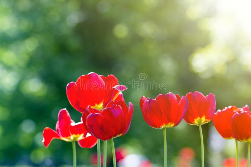 Beautiful close-up picture of wonderful bright red spring flowers tulips on high stems lavishly blooming on blurred green bokeh. Background in garden or field stock photos