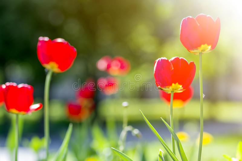 Beautiful close-up picture of wonderful bright red spring flowers tulips on high stems lavishly blooming on blurred green bokeh. Background in garden or field royalty free stock photo