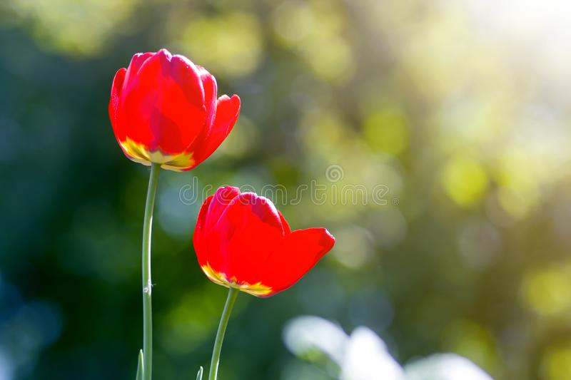 Beautiful close-up picture of wonderful bright red spring flowers tulips on high stems lavishly blooming on blurred green bokeh. Background in garden or field stock image