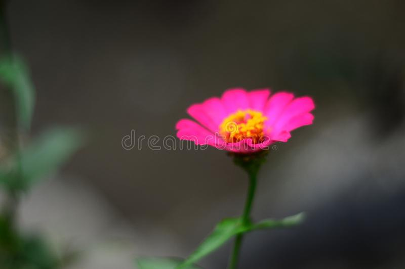 Beautiful close up pink flower known as Asteraceae. Meadow creative photography. Beauty flowers stock images