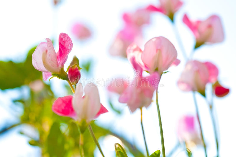 Beautiful close up of pink sweet pea flowers royalty free stock images