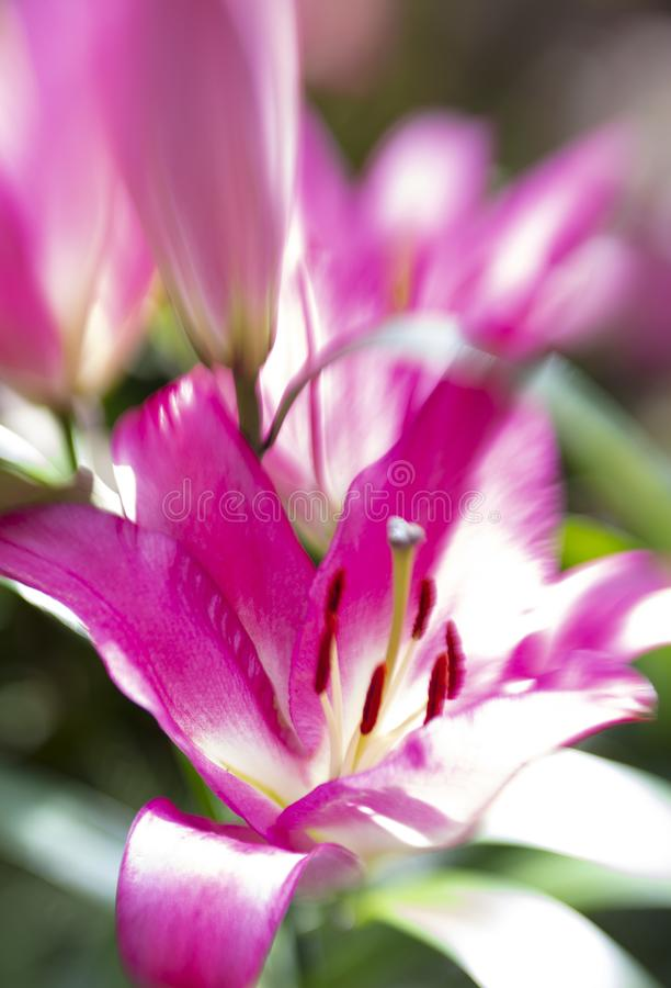 Beautiful close up of a pink and white Lily. stock photography