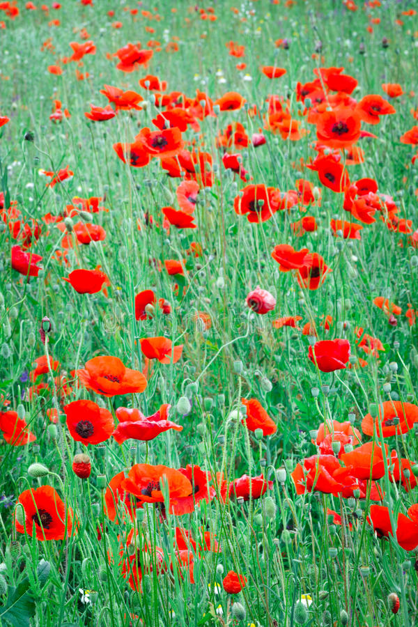 Beautiful close up in poppy field. Spring summer nature background concept. Inspirational and relaxing flowers nature background. royalty free stock photos