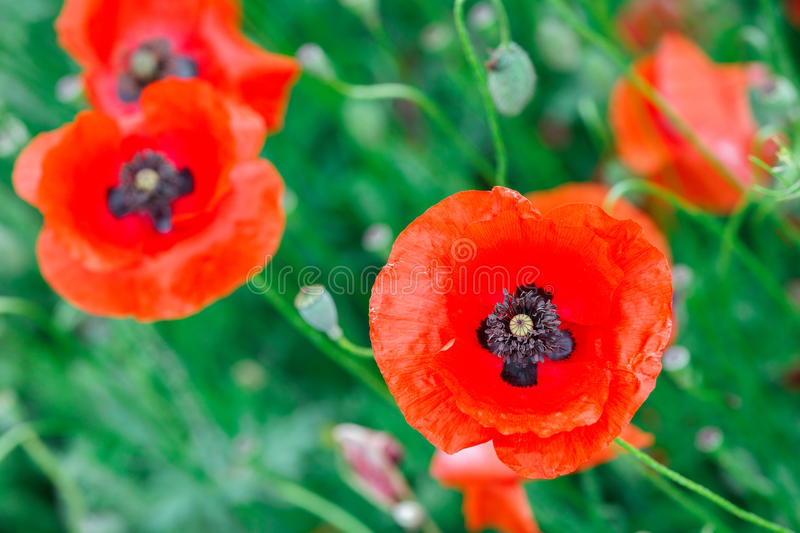 Beautiful close up in poppy field. Spring summer nature background concept. Inspirational and relaxing flowers nature background. stock images