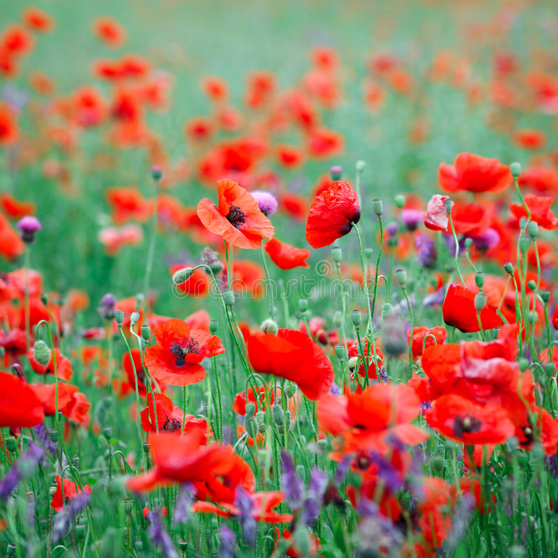 Beautiful close up in poppy field. Spring summer nature background concept. Inspirational and relaxing flowers nature background royalty free stock image