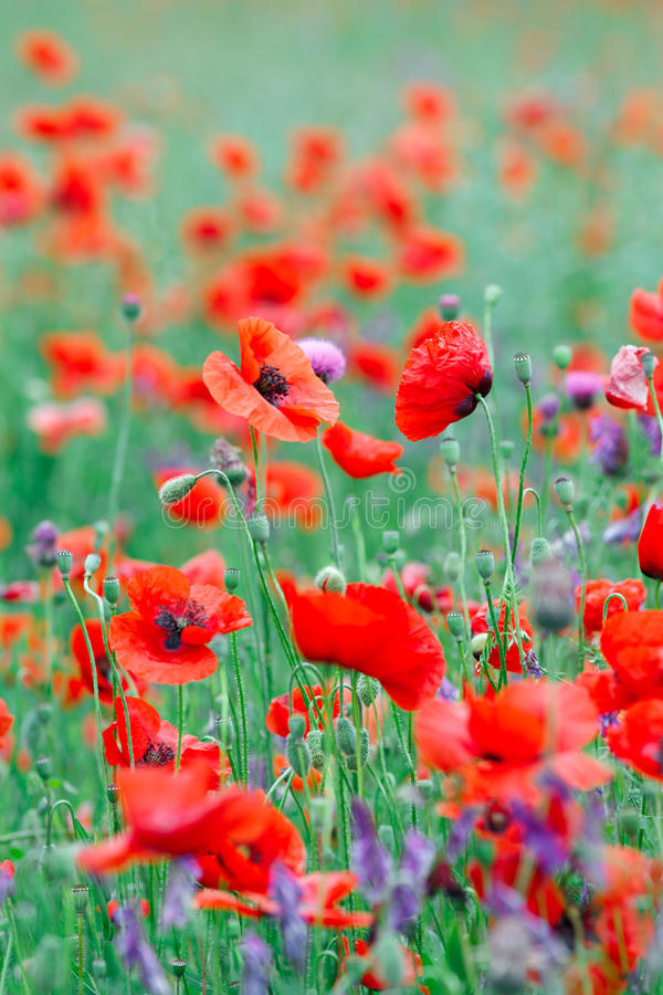 Beautiful close up in poppy field. Spring summer nature background concept. Inspirational and relaxing flowers nature background royalty free stock photography
