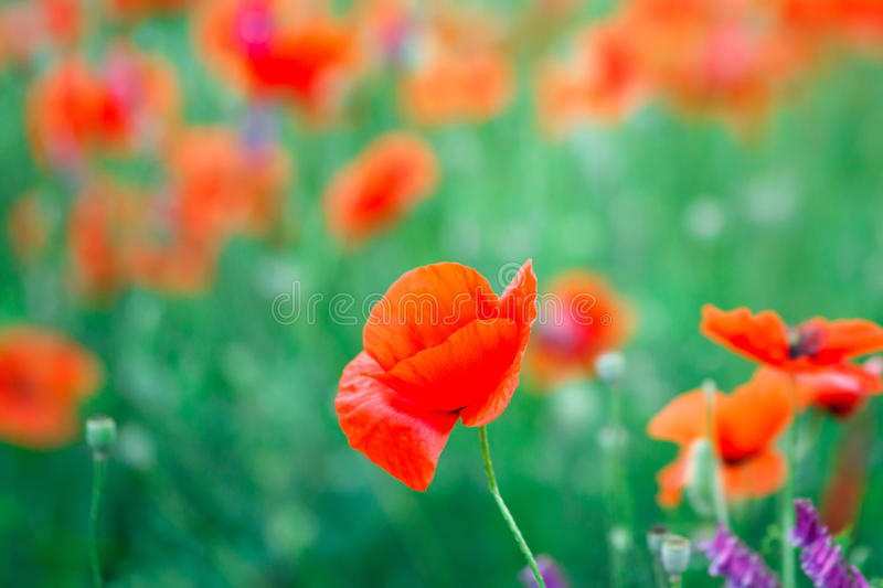 Beautiful close up in poppy field. Spring summer nature background concept. Inspirational and relaxing flowers nature background. royalty free stock photo