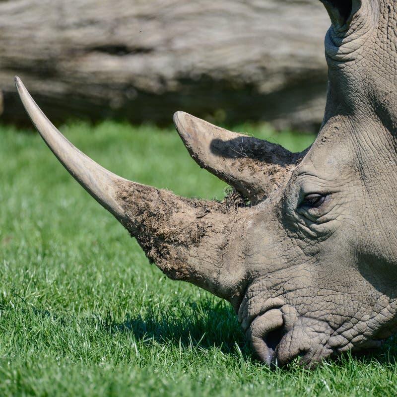 Download Lovely Profile Close Up Portrait Of Southern White Rhinoceros Rh Stock Photo - Image of rhinoceros, wildlife: 118561758