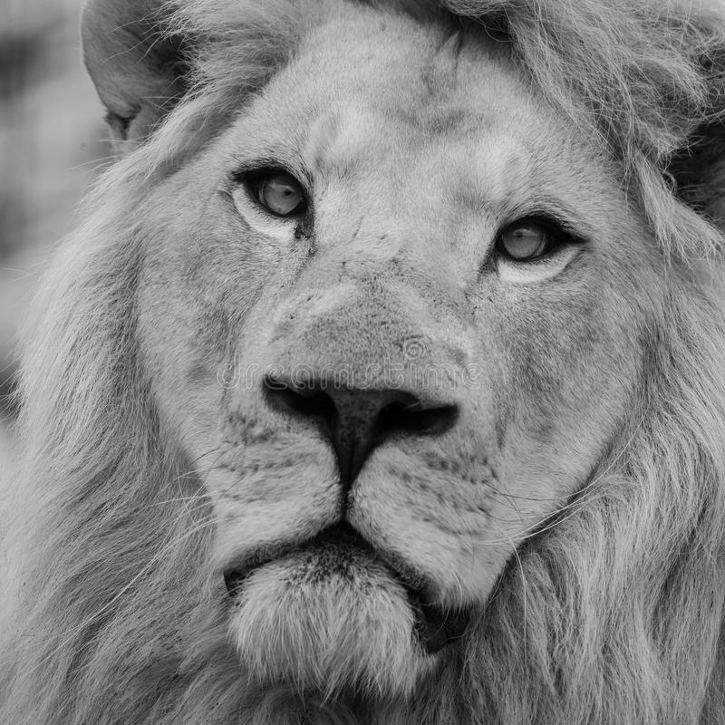 Beautiful close up portrait of white Barbary Atlas Lion Panthera Leo in black and white stock photos