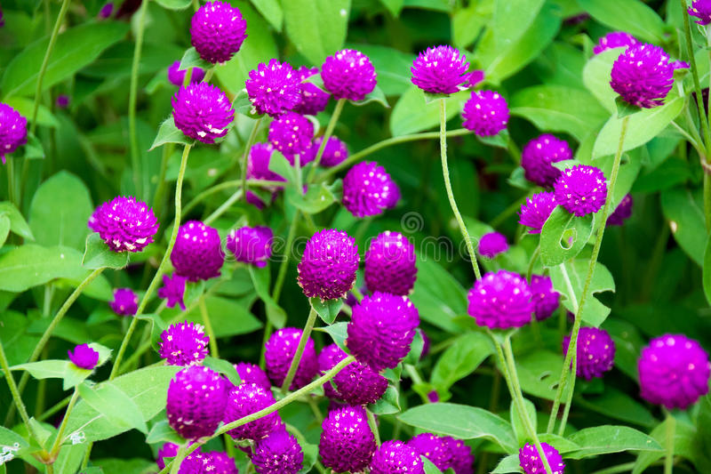 Beautiful Close up purple amaranth flower nature royalty free stock photography