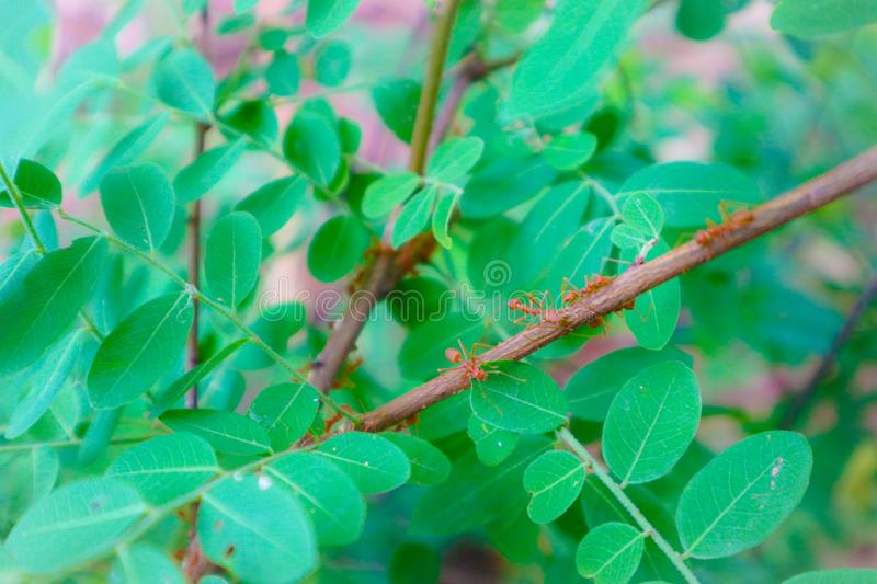 Beautiful close up red ant nest on the tree leaf in green nature garden stock image