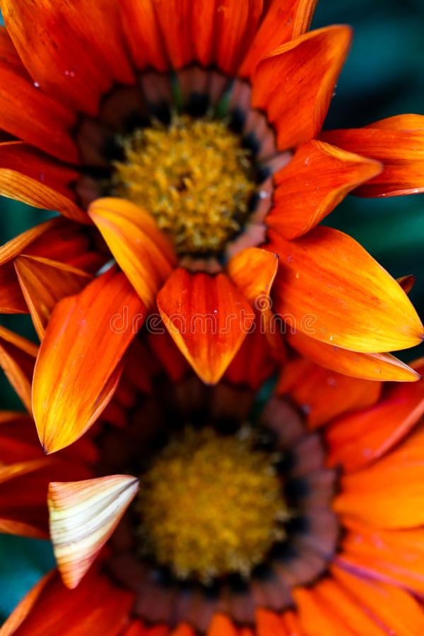Beautiful close up of red and orange gazania or African daisies flower in sunlight. Garden wild blooms. royalty free stock photo