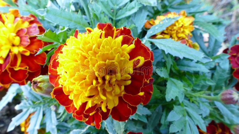 Beautiful close up of a red and yellow marigold flower with green leaves royalty free stock photos