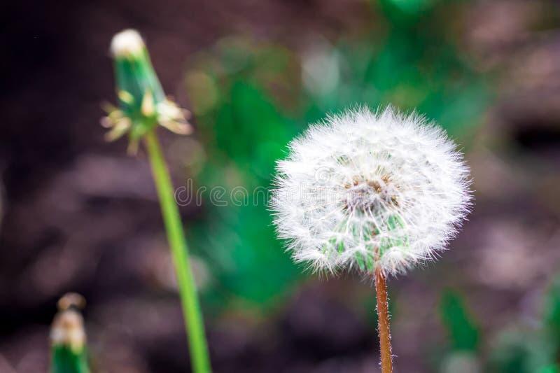 Beautiful close up dandelion flowers stock images