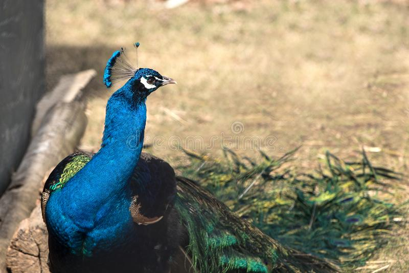 Beautiful close up shot of a peacock/peafowl. royalty free stock photo