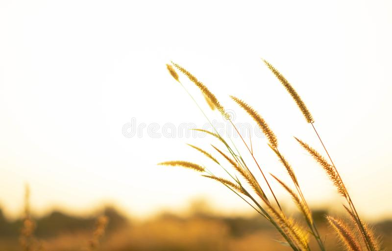 Beautiful close up silhouette of grass flower on sunset background. Selective focus. royalty free stock photo