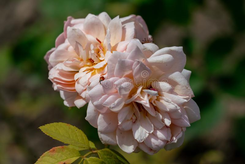 Beautiful close up of two pink grace english rose flower heads stock photos
