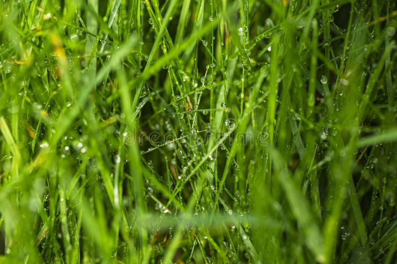 Beautiful close up view of green grass covered with water drops. Gorgeous green nature backgrounds texture royalty free stock photos