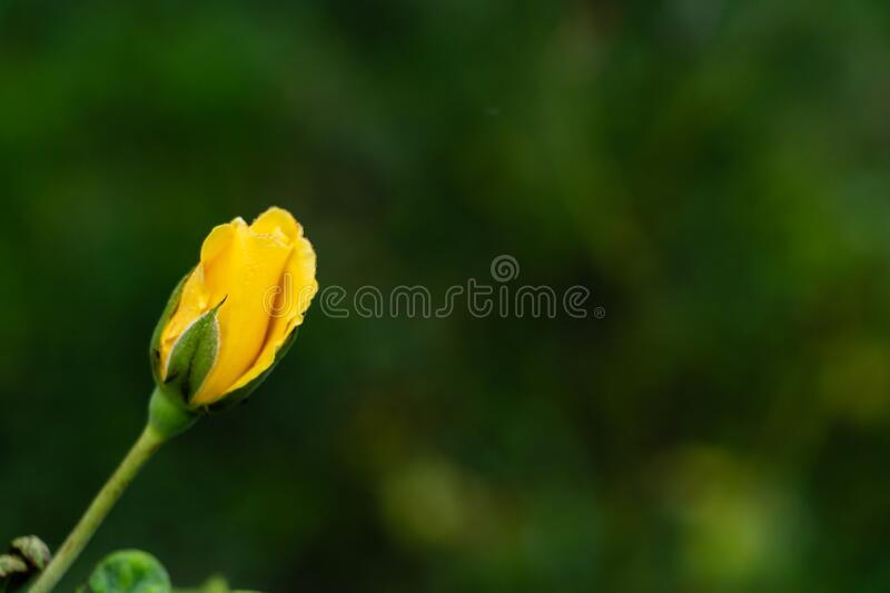 Beautiful close up of yellow rose flower bud over the blurred green background with copy space. nature and blooming concept stock photos