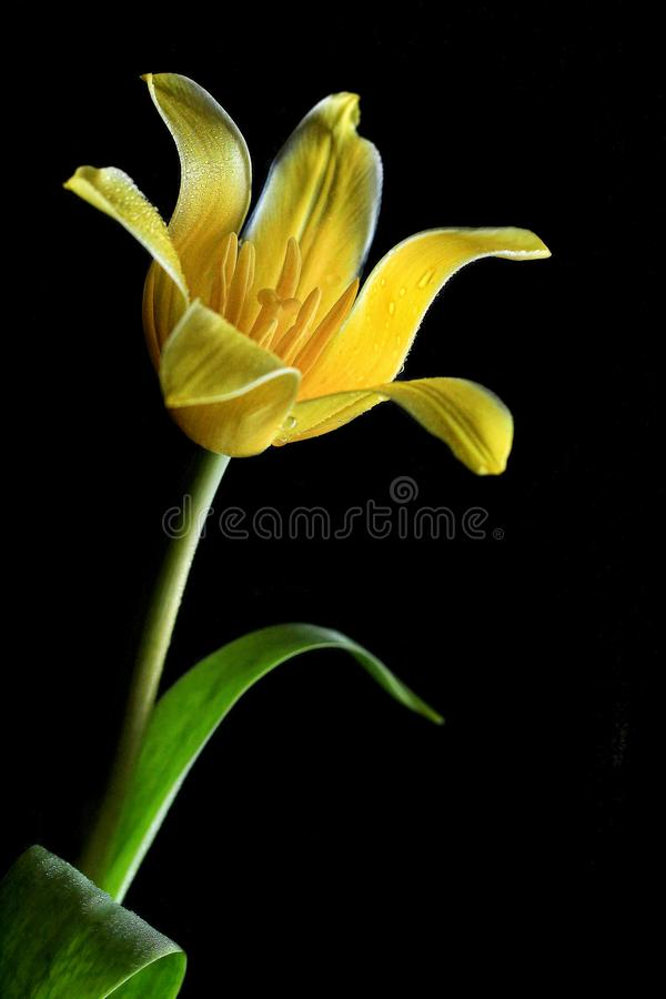 Beautiful Close up Yellow Tulip With Dew on Flower With  Black Background and Natural Light.. Macro Flower. royalty free stock photo