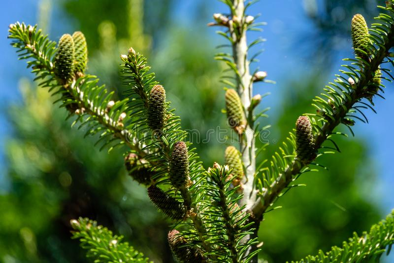 Beautiful close-up of young cones on the branches of fir Abies koreana with green and silvery spruce needles on background stock photo