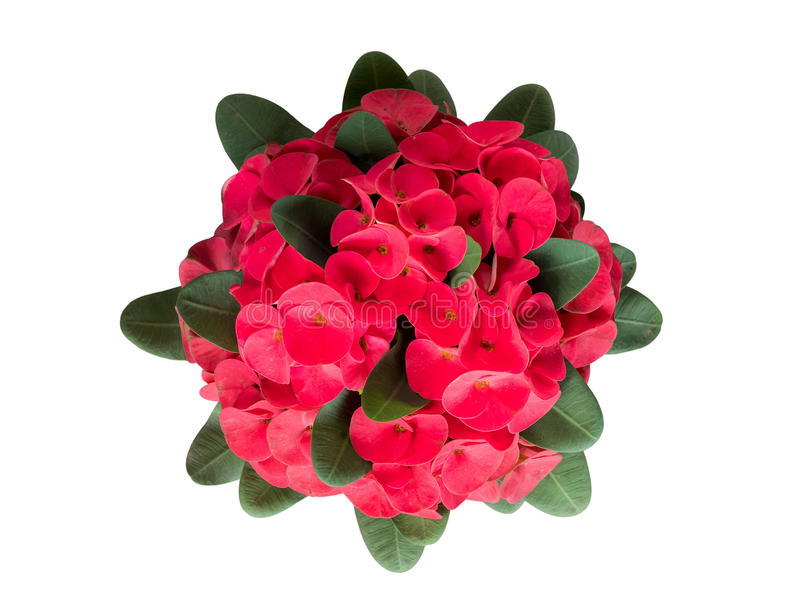 Beautiful closed up of red Crown of thorns or Christ thorn flower. S (Euphorbia milli stock photo