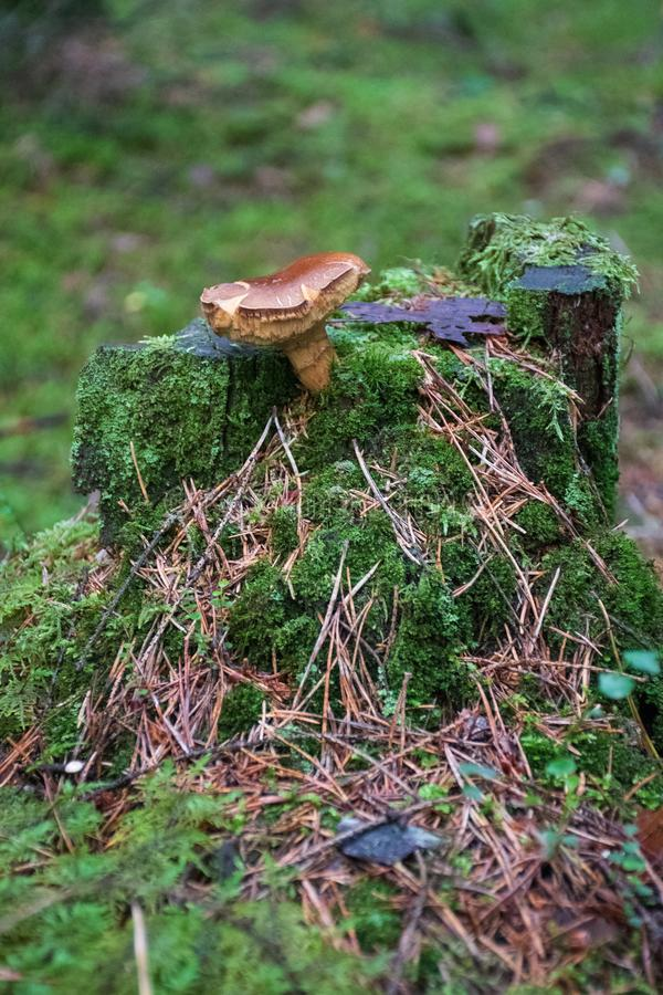 Beautiful closeup  brown mushroom bearded milkcup growing on an old trunk with green moss. Beautiful closeup brown mushroom bearded milkcup growing on an old stock images