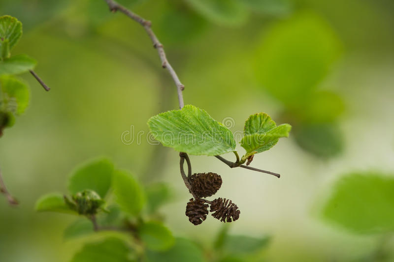 A beautiful closeup of a common black alder branches in spring. Sunny summer day stock image