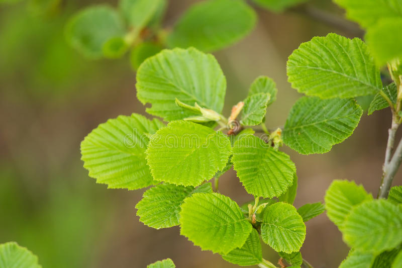 A beautiful closeup of a common black alder branches in spring. Sunny summer day royalty free stock photography